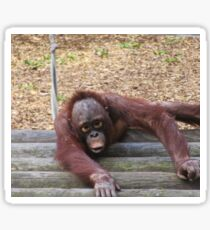 Baby orangatang Sticker