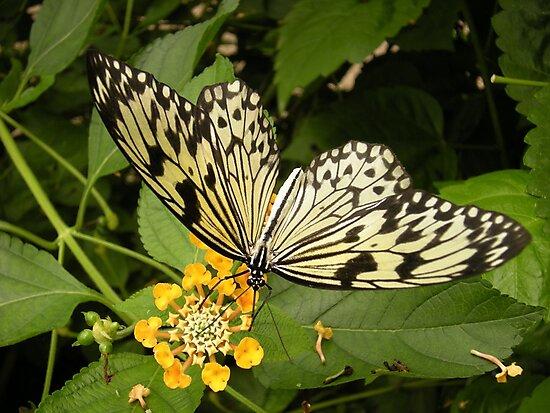 Butterfly by ttheott