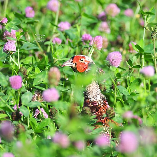 """"""" Pheasant In Thistles """" by Richard Couchman"""
