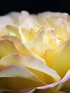 Peace Rose by Tiffany Dryburgh