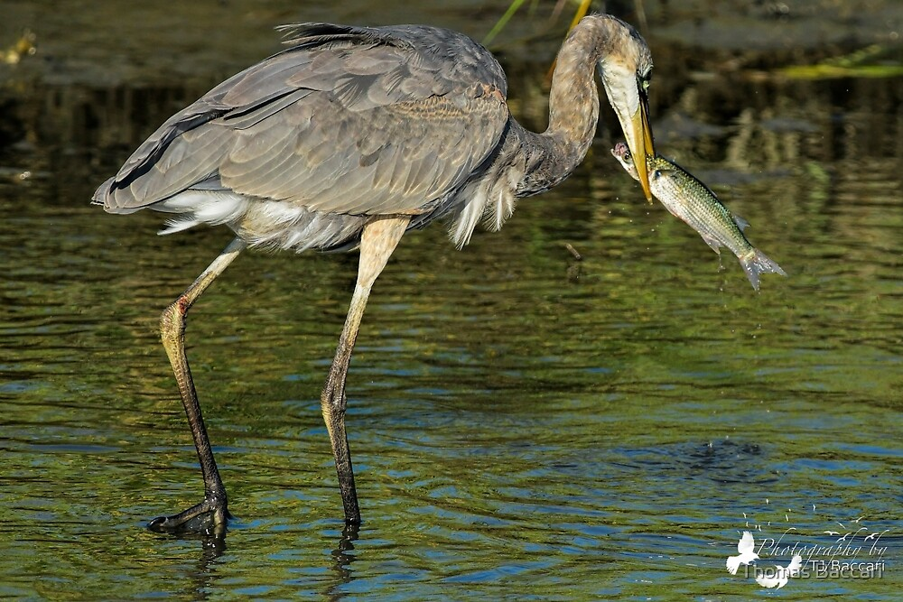 Great Blue Heron Gets Large Fish by TJ Baccari Photography