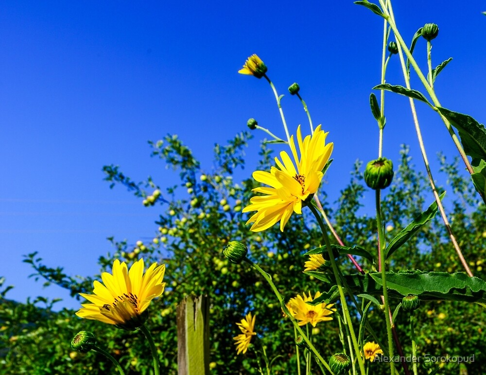 Vivid colors of yellow summer flowers on blue sky background, sunny day by Alexander Sorokopud