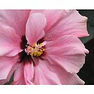 Pink Ibiscus flower. by coffeeflavour
