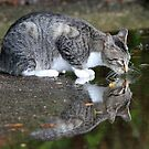 A wildcat reflection ! by Anthony Goldman