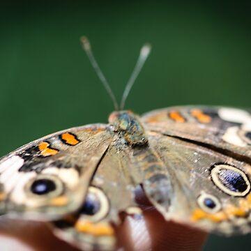 Common Buckeye Junonia Coenia by hlehnerer