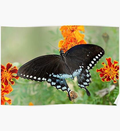 Swallowtail butterfly on marigolds Poster