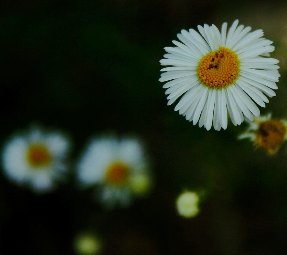 Daisy by imhunterjkennon
