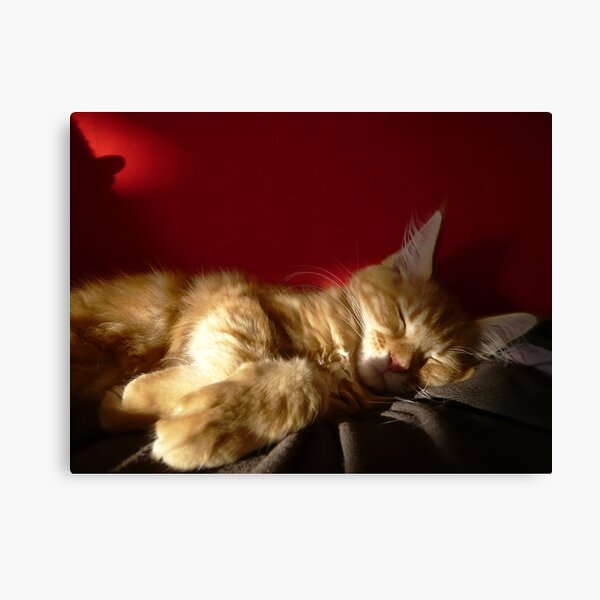 Maine Coon Kitten Sleeping Canvas Print