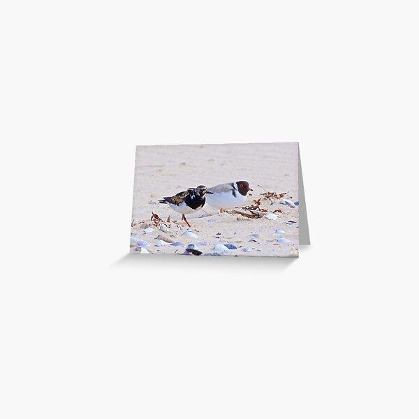 SHOREBIRD ~ Ruddy Turnstone and Hooded Plover by David Irwin ~ WO Greeting Card