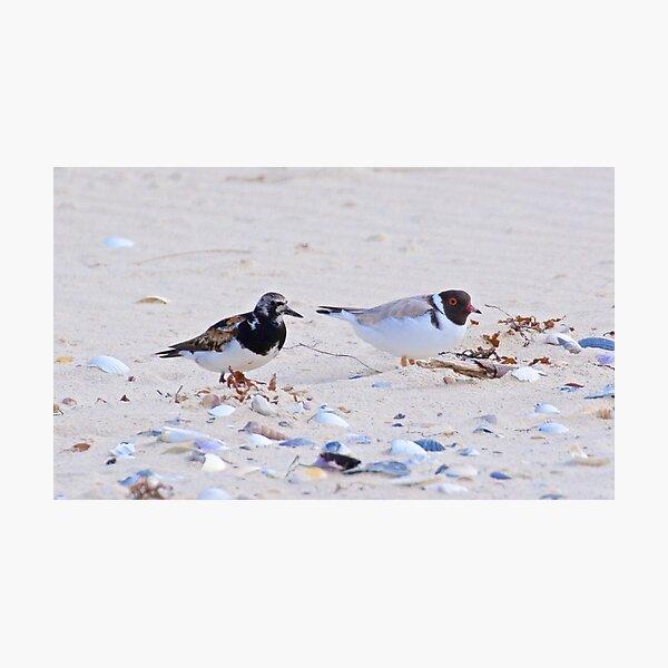 SHOREBIRD ~ Ruddy Turnstone and Hooded Plover by David Irwin Photographic Print