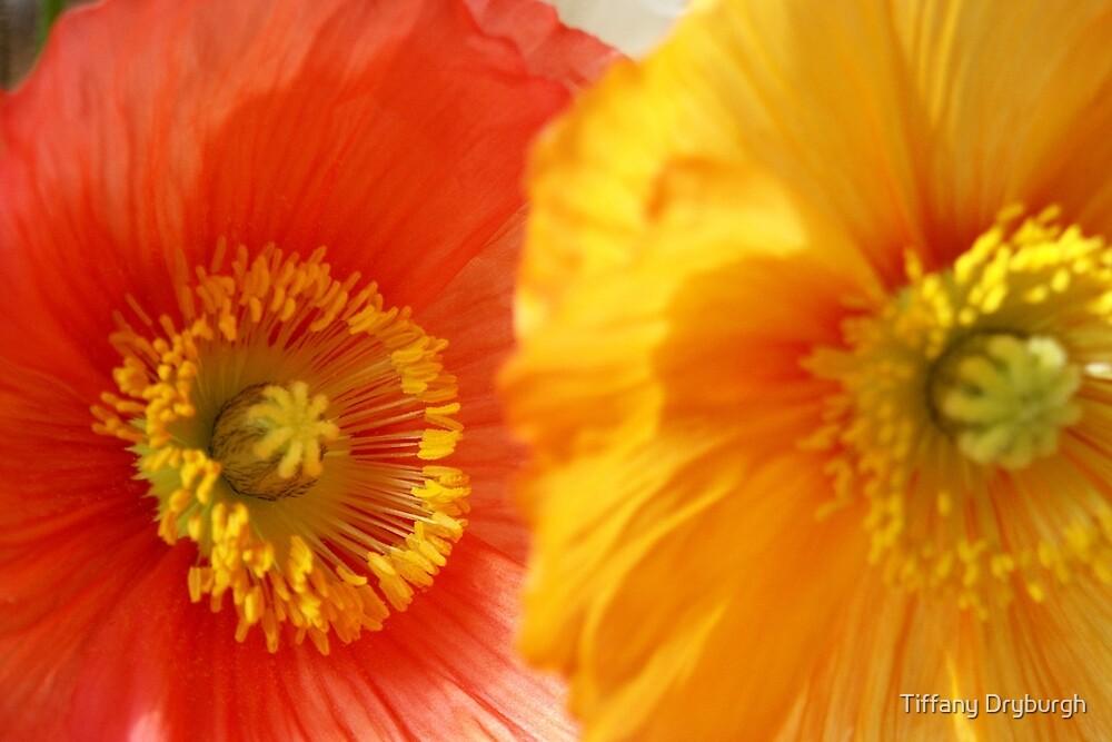 Poppies by Tiffany Dryburgh
