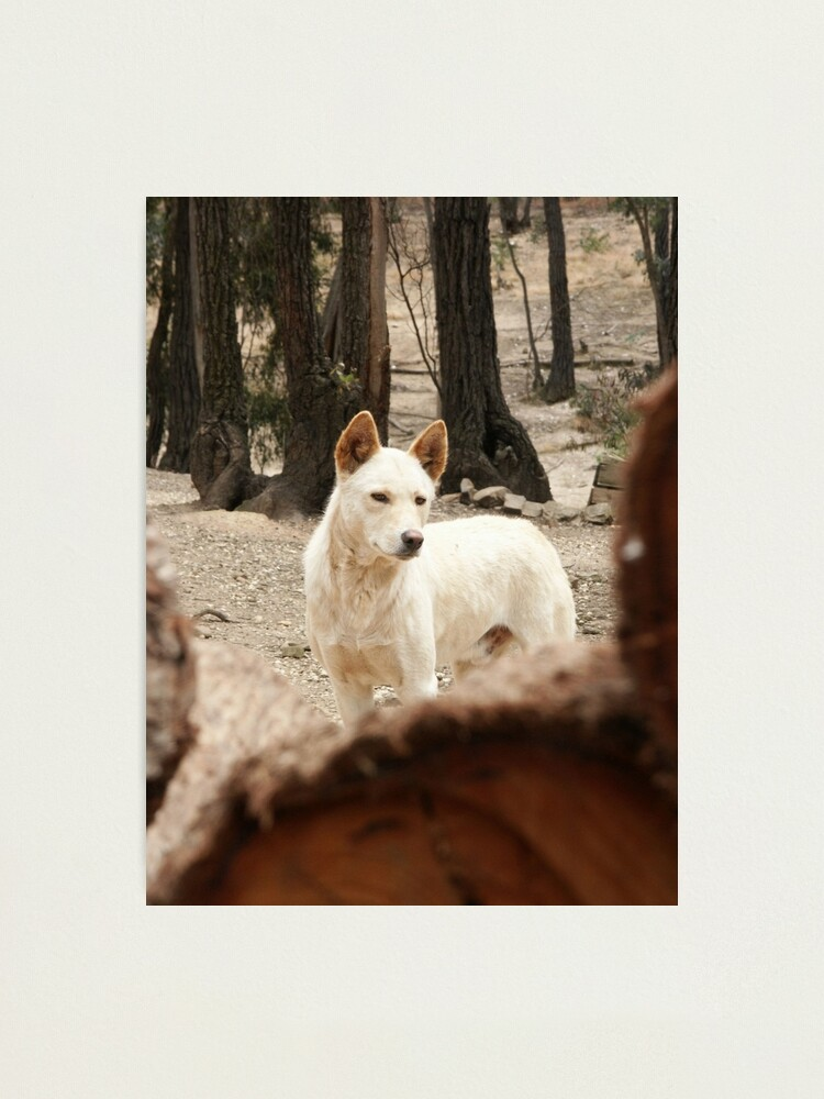 Alternate view of Bruce's Dingo Photographic Print