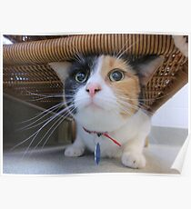 Calico Cat for Adoption Poster