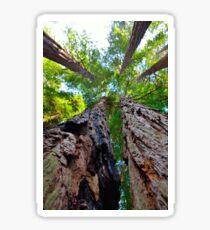Muir Woods Redwood Sticker
