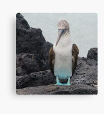 Blue Footed Boobie 1 - Galapagos Islands 2014 Canvas Print