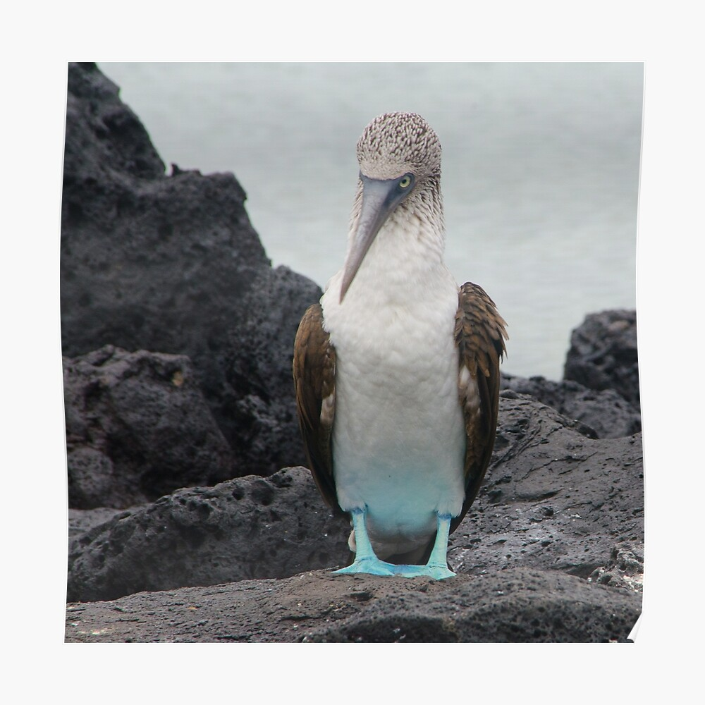 Blue Footed Boobie 1 - Galapagos Islands 2014 Poster
