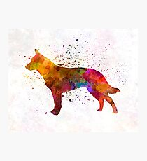 Australian Cattle Dog in watercolor Photographic Print