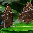 Butterfly Pair - Napo River Basin, Ecuador by David Galson