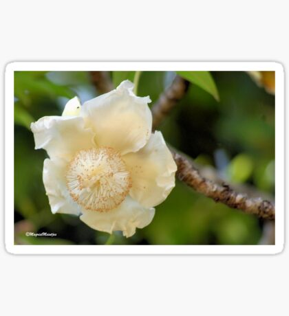 THE BOABAB FLOWER - BAOBAB – Adonsonia digitata Sticker