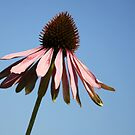 Purple coneflower by Jo Nijenhuis