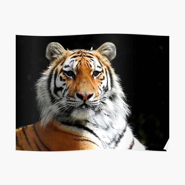 Siberian Tiger in the Sun Poster