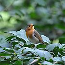 Robin red breast  by Declan Carr