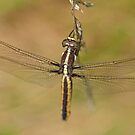Spangled Skimmer by William Brennan