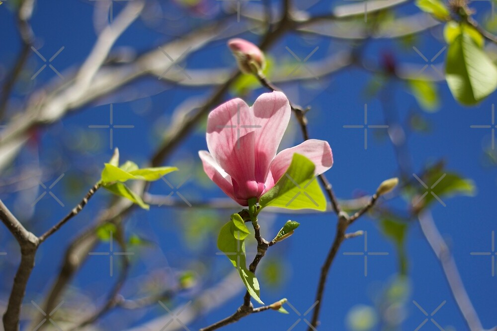 Pink Italian Flower  by Raquel Fletcher