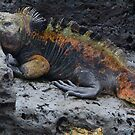 Large Marine Iguana by David Galson