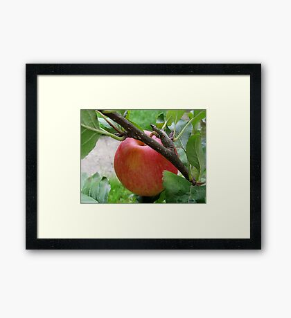 The very first apple on my tree Framed Print