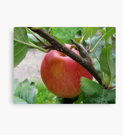 The very first apple on my tree Canvas Print
