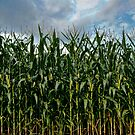 Vertical Corn by sundawg7