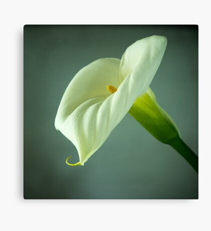 Arum Lily - From the Heart Canvas Print