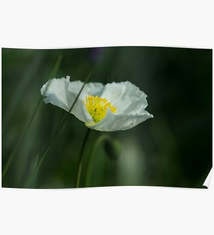 Good Morning White Poppy Poster