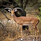 Lonely male Impala (Aepyceros melampus) by Neville Jones