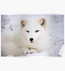 White arctic fox in snow Poster