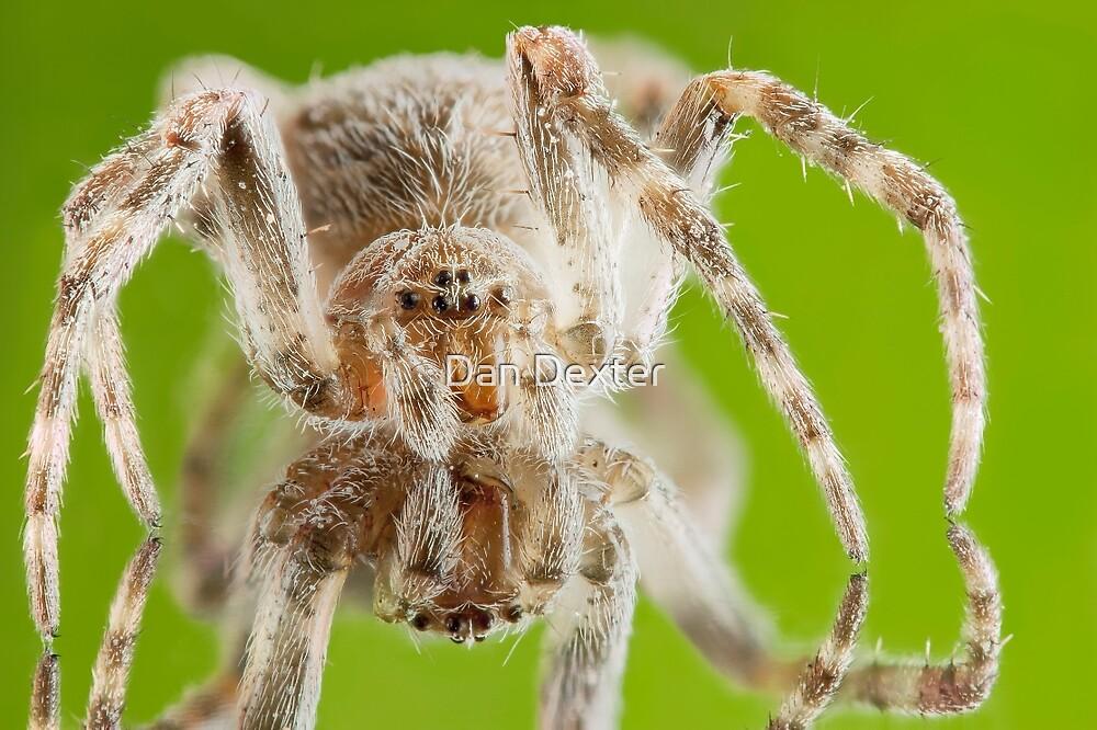 Orb Weaver Spider On Green by Dan Dexter