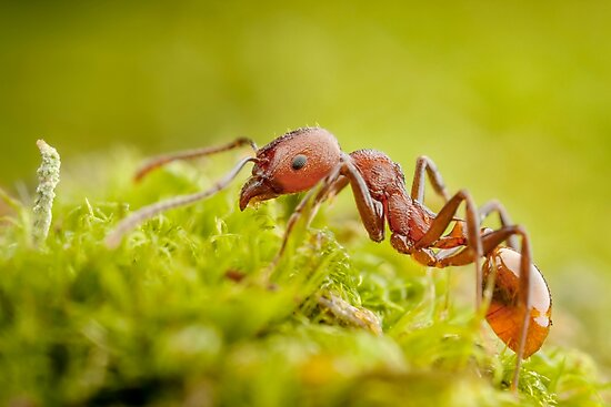 Red Worker Ant On Green Moss by Dan Dexter