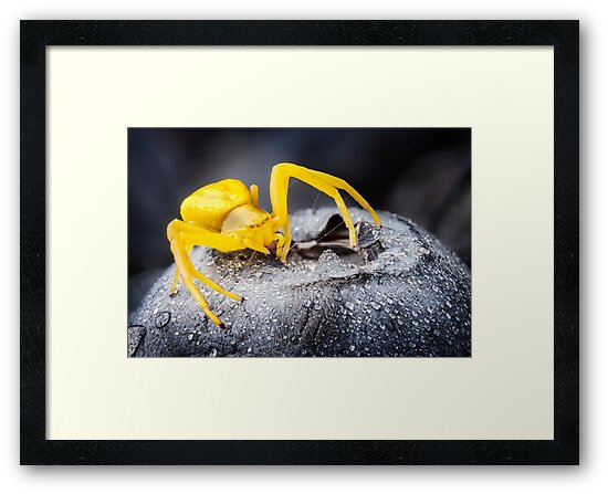 Yellow Crab Spider On Blueberry by Dan Dexter