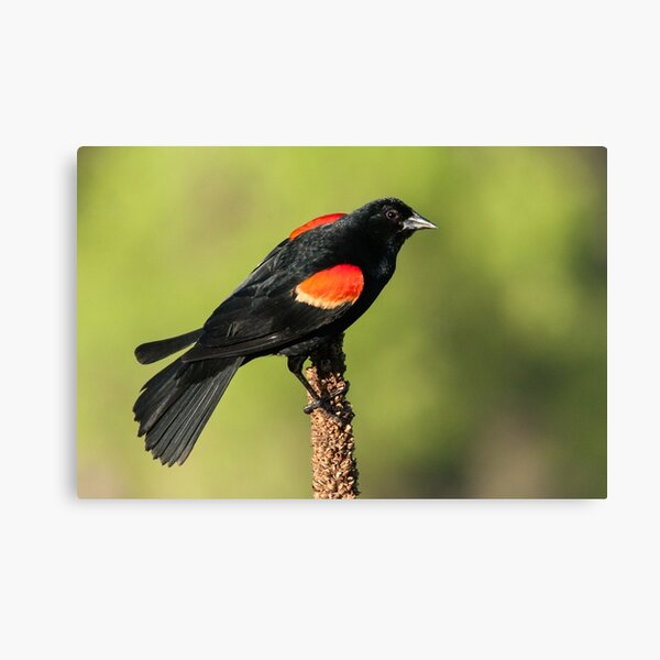 Red-winged Blackbird on Mullein Canvas Print
