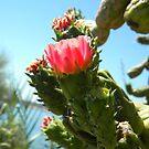 Pink cactus flowers by Ana Belaj