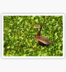 Black-bellied Whistling-Duck Sticker