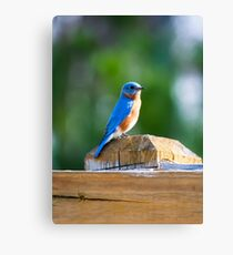 Bluebird Perched on a Fence Canvas Print