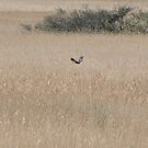 Marsh Harrier Over Marsh by CreativeEm