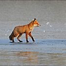 Red Fox by holdingmoments