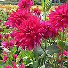 Red Dahlias at Canby Festival, Oregon by AuntieBarbie