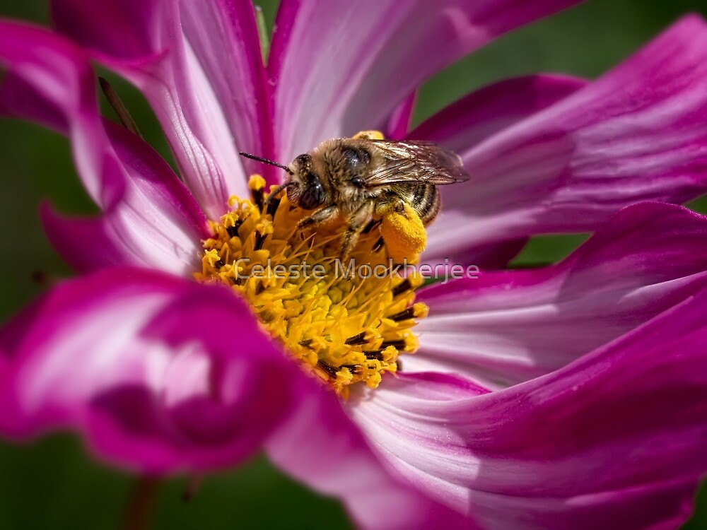 Bee packing pollen von Celeste Mookherjee