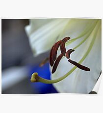 experimental closeup of a white lily Poster