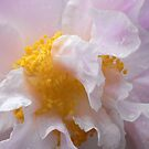 camellia IV by Floralynne