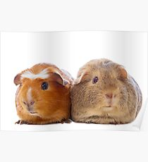 Two adorable guinea pigs Poster